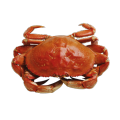 Cangrejo de mar (Carcinus maenas)